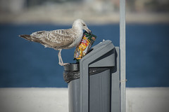 15/52 (1) Mhh! My favorites: ketchup corn! (- Cajn de sastre -) Tags: bokeh seagull urbanwildlife gaviota 52weeksproject 52weeksofphotography week15theme 52weeksthe2016edition week152016 weekstartingfridayapril82016
