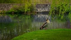oie (Yasmine Hens) Tags: nature europa flickr belgium ngc parc namur tang hens yasmine oie wallonie annevoie jardinsdannevoie world100f iamflickr flickrunitedaward sonyilce7 hensyasmine