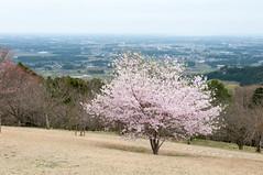 Sakura and the Kanto Plain (Wunkai) Tags: japan  cherryblossom sakura izumi    ibarakiken  kantoplain atagoshrine kasamashi