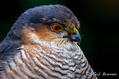 Sperwer / Sparrowhawk -8556 (rob.bremer) Tags: bird nature outdoor wildlife dunes natuur aves sperwer duinen castricum vogel sparrowhawk accipiternisus noordhollandsduinreservaat
