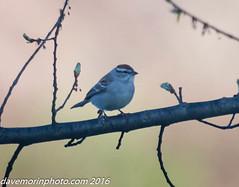 04-27-2016 misc nature-4777.jpg (davemorinphoto.com) Tags: bird birds spring sparrow avian uxbridge riverbendfarm riverandcanal