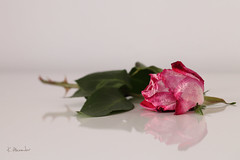 Always beautiful I (Kasia Alexander) Tags: pink rose withered dying drying