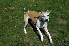 Throw the Ball (DiamondBonz) Tags: dog pet ball play hound whippet spanky dogchal