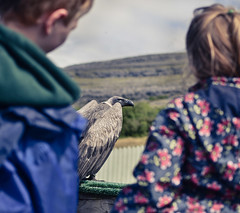 (GeorgianaBraga) Tags: show ireland bird nature animal children kid education nikon child culture learning curious vulture creature curiosity d3100