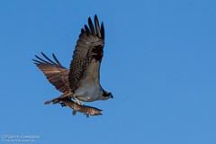 Balbuzard pcheur avec Brochet / Osprey with Northern pike (Wild_Pete) Tags: canada qubec osprey northernpike brochet maraisdunord balbuzardpcheur stonehamettewkesbury