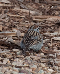 Chipping Sparrow (ironekilz) Tags: sparrow chipping
