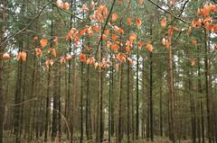 Winter leaves (-Kj.) Tags: winter tree netherlands forest nationalpark hike trunk moraine overijssel sallandseheuvelrug