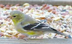 American Goldfinch _ 4 Apr 2016 (Bob Vuxinic) Tags: male cumberlandplateau americangoldfinch molting crossvilletennessee spinustristis trayfeeder 4apr2016