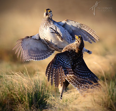'The Lek' - Sharp-tailed Grouse battle (Tympanuchus phasianellus) (timjhopwood) Tags: alberta lek sharptailedgrouse tympanuchusphasianellus