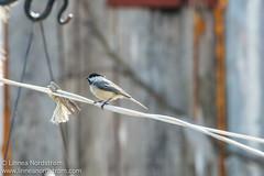 Chickadee on a clothesline