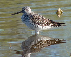Greater Yellowlegs (Dendroica cerulea) Tags: reflection bird water birds newjersey spring nj waterbird aves tringa highlandpark sandpiper yellowlegs shorebird tringamelanoleuca charadriiformes greateryellowlegs fav10 middlesexcounty scolopacidae donaldsonpark scolopaci