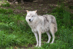 Arctic Wolf 2 (Bram Blenk) Tags: wild animals parcomega