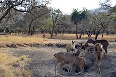 Antelope (cn174) Tags: india nationalpark tiger tigers rajasthan ranthambhore tigerreserve ranthambhorenationalpark ranthambhorebagh