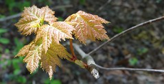 new maple leaves, Village Creek Church area, sooc (Martin LaBar) Tags: macro leaves leaf spring maple southcarolina acer frhling oconeecounty sapindaceae