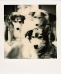 Toaster's Pups (R. Drozda) Tags: alaska polaroid sx70 salty retired thepups frodo fairbanks sleddog beingthere 15yearsold cholie missingruby drozda pupsoftoasterandbiscuit impossibleprojectbw600film roidweek2016spring