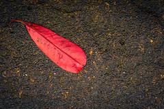 118/366 2016 - Red Leaf (fishyfish_arcade) Tags: red macro leaf nikon 365 366 sigma105mmf28 d3200