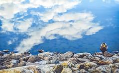 (GeorgianaBraga) Tags: blue sky cloud lake reflection bird nature water mirror duck pond nikon rocks calm reflect d3100