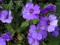 Steinkraut (Gartenzauber) Tags: doublefantasy floralfantasy saariysqualitypictures
