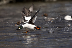 3F0A3497-bb- copy 2 (Photography by Ramin) Tags: canada river golden duck eyes ottawa running off take