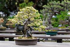 20160413-29-Bonsai at Kyoto Botanic Gardens (Roger T Wong) Tags: travel trees holiday japan kyoto bonsai botanicgardens 2016 canonef70200mmf4lisusm canon70200f4lis canoneos6d rogettwong
