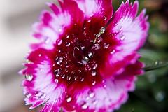 Home made close up lens testing (markoneswift) Tags: flower colour macro nature closeup 35mm fuji pentax da droplet diopter xe1 xtrans
