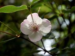 Euchryphia lucida 'Pink Cloud' (dracophylla) Tags: leatherwood royaltasmanianbotanicalgardens cunoniaceae euchryphialucidapinkcloud