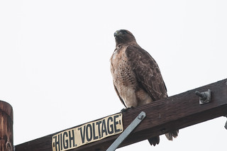 California Red-tail