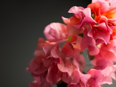 still life black -24 (MARTINEZ PHOTOGRAPHY JP) Tags: flowers music flores flower cup flor it violin be beatles coffe let bugambilias