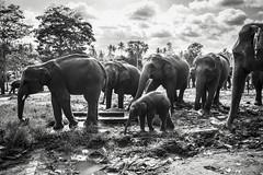 Protection (BoXed_FisH) Tags: travel blackandwhite bw elephant zeiss mammal mono asia zoom cloudy sony young wideangle monotone tele srilanka lk pinnawela elephantorphanage sonyalpha rambukkana sabaragamuwaprovince sal70300g zeiss1635 sonya7