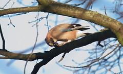 Eichelhher, eurasian jay (Garrulus glandarius) located in Germany, State Brandenburg, County Bergholz-Rehbrcke, December 2015 (_Andreas_R_) Tags: jay garrulus eurasian rabenvogel eichelhher glandarius
