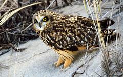 Short-eared Owl (Asio flammeus) (Steve Arena) Tags: bird nikon orleans massachusetts chatham raptor owl d750 birdofprey nauset seow 2016 nausetbeach shortearedowl asioflammeus barnstablecounty northchatham nausetbeachsouth