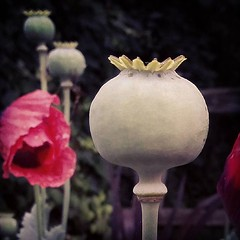 #oursummergarden #poppy #seedpods (Heart felt) Tags: poppy seedpods oursummergarden uploaded:by=flickstagram instagram:photo=11424527379835458511642322975