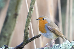Nice feather. (Keith Grafton) Tags: robin birds leightonmoss