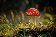 Magic New Year! (parkerbernd) Tags: new wood light mushroom forest germany happy lumix fly moss fantastic bokeh magic year charm panasonic explore lucky toadstool brandenburg agaric fliegenpilz gx1