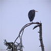 despicable me (marneejill) Tags: snow cold me heron miserable hunched despicable