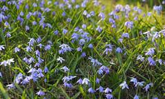 20130416 (zumakuma) Tags: toronto flower spring bluebell signofspring blipfoto
