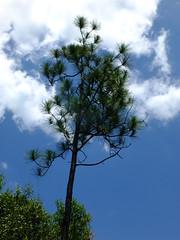 Cypress Pine (failing_angel) Tags: florida wetland esterobay fortmyers fortmyer sixmilecypressslough sixmileslough 240515 sixmilecypresssloughpreserve linearecosystem naturaldrainageway
