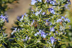 Rosmarinus officinalis / romero / rosemary (Mike's Mode (Miguel H.)) Tags: arizona rosemary romero rosmarinusofficinalis