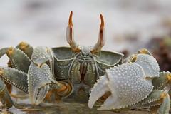 Zanzibar 2015 (hunbille) Tags: tanzania zanzibar pongwe pongwebeachhotel beach hotel crab texture fotocompetitionsilver fotocompetitionbronze fotocompetition fotocompetitiongold