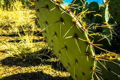 A prickly-pear cactus in the Sonoran desert.