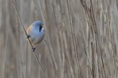 Bearded Tit (Male) (Keith Grafton) Tags: birds leightonmoss beardedtit