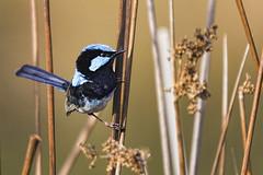 Superb Fairywren 2015-12-31 (_MG_7314) (ajhaysom) Tags: australia melbourne australianbirds superbfairywren maluruscyaneus canoneos60d sigma150600 royalparkwetlands