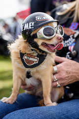 Harley Dog (DanGarv) Tags: florida harley motorcycleshow dania vintagemotorcycle mortorcycle classicbike daniabeach antiquemotorcycle d810 harleydog