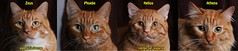 Zeus, Phoebe, Helios & Athena (youtube.com/utahactor) Tags: red orange cats yellow cat four mackerel ginger tabby watch like follow phoebe zeus gato kitties gata spotted hd athena share striped facebook helios subscribe viral youtube