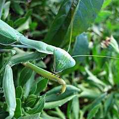 ... looking your way (1:1) (David Willis.) Tags: green leaves canon mantis spain eyes looking head praying andalusia prayingmantis g10 davidwillis canong10