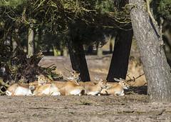 Blackbuck antelope (Hans van der Boom) Tags: netherlands animal nederland antelope nl safaripark beeksebergen noordbrabant blackbuck hilvarenbeek hilarenbeek