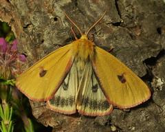 Clouded Buff male - Diacrisia sannio. (John A Petyt) Tags: arctiidae arctiinidae cloudedbuff