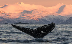Humpback tail - one of the pretty ones (Snemann) Tags: norway january whales humpback tromsø megapteranovaeangliae troms pentaxk5