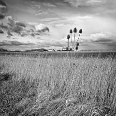 Teasel on Fiskerton fen (kenemm99) Tags: winter sky bw plants canon landscape farm places lincoln teasel grasses nik sep fen kenmcgrath sfex 5dmk3