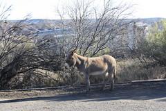 IMG_1368 (EllenJo) Tags: arizona donkeys canonrebel burros equine digitalimage verdevalley clarkdale 2016 february3 ellenjo ellenjoroberts winterinaz lifeoutwest